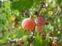 red gooseberries
